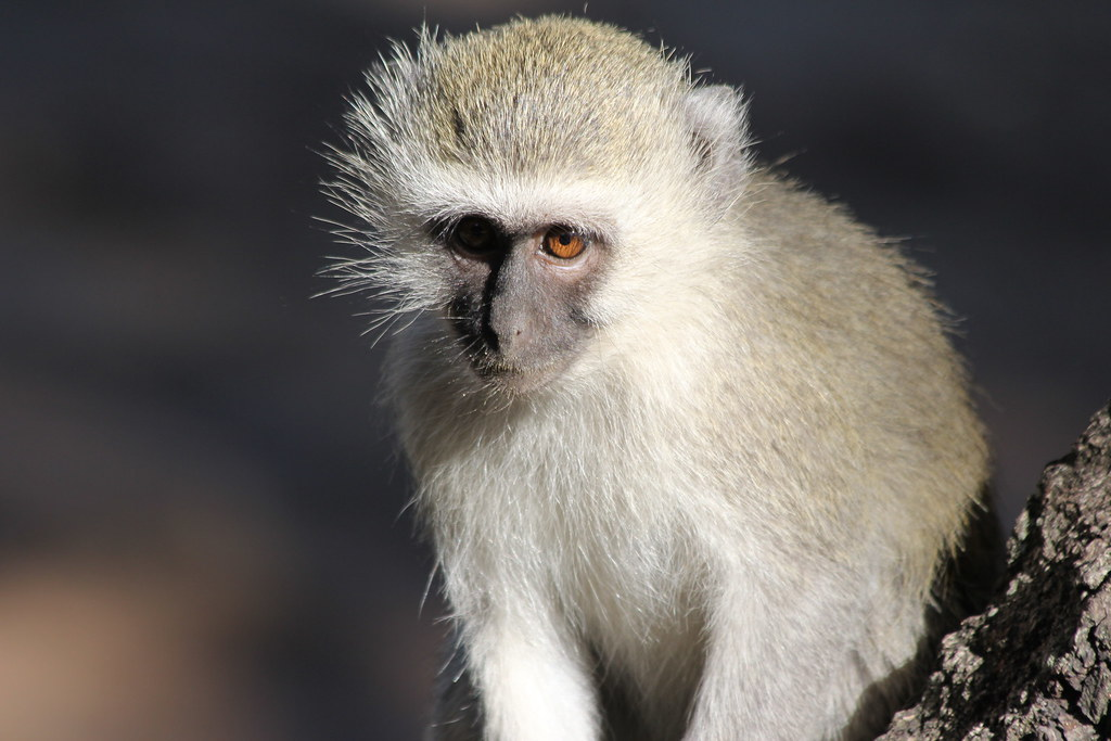 Scavenging monkey
