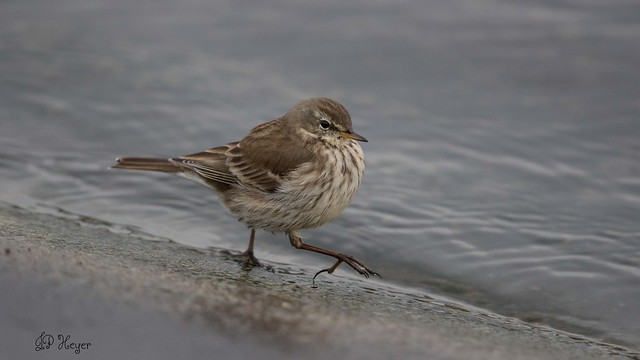 Pipit Spioncelle / Bergpieper, Canon EOS 7D MARK II, Canon EF 500mm f/4L IS II USM