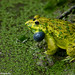 Frog by Arif Ahmed Photography