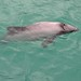 Small photo of Hector's dolphin in Akaroa Harbour