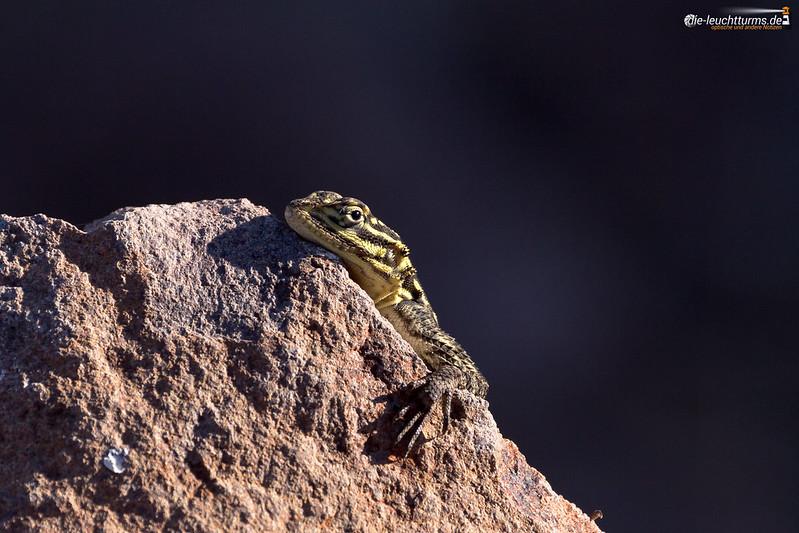 Namib rock agama (female)