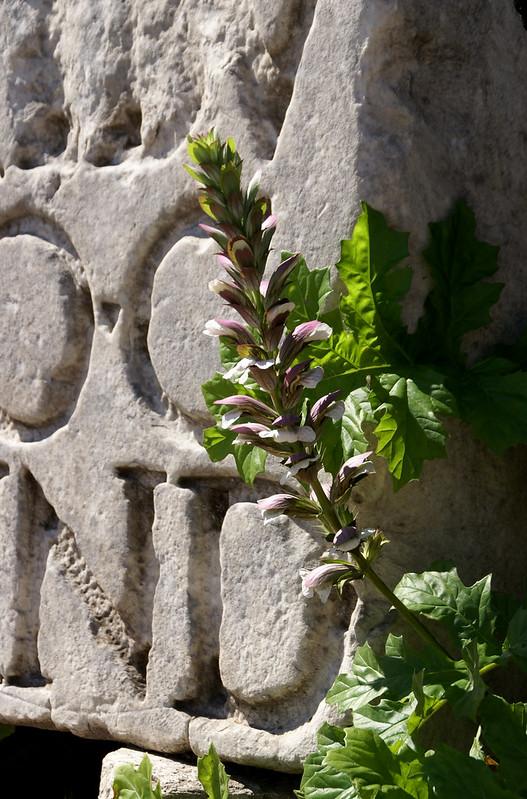 Forum Romanum, Akanthus (acanthus mollis)