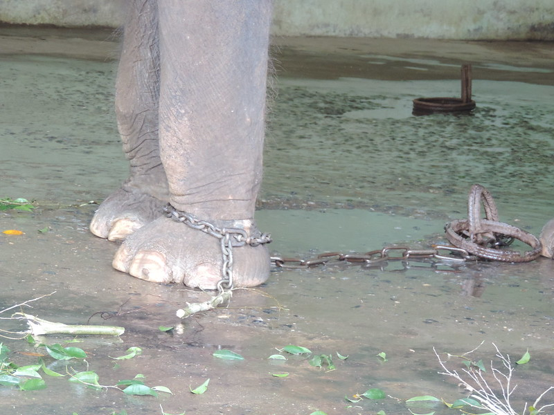 Chained elephant close up