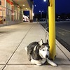 This cute dog was patiently waiting for his owner who went to shop at Walgreens. #Walgreens #travel #nj #parsippany #njday15 #dogs #pets