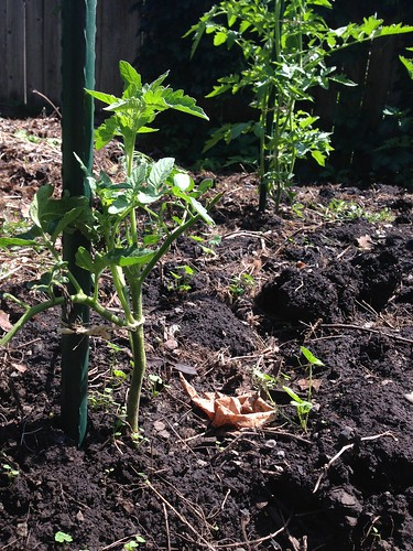 Mystery tomato planted from a pruned sucker