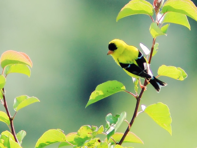 American Goldfinch 2-20150714