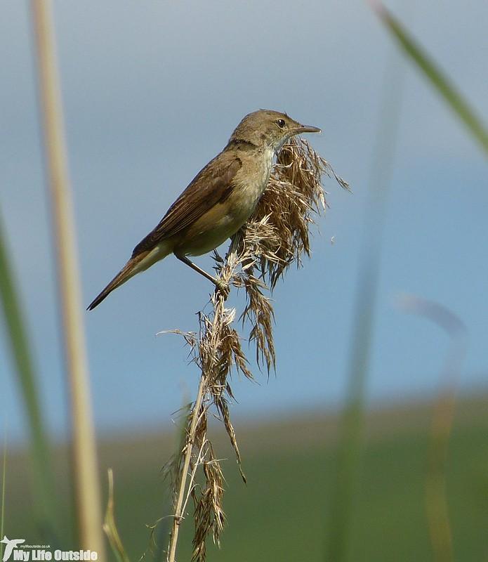 P1130827_2 - Reed Warbler, Llangorse Lake
