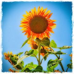 Sunflower - Photo of Saint-Laurent-des-Bâtons