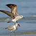 Laughing Gull, Bahia la Ventosa, Oaxaca, Mexico por Terathopius