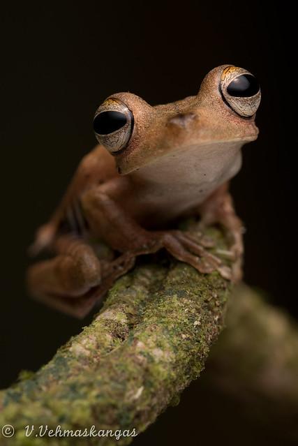 Troschel's tree frog Hypsiboas, Nikon D750, PC Micro-Nikkor 85mm f/2.8D