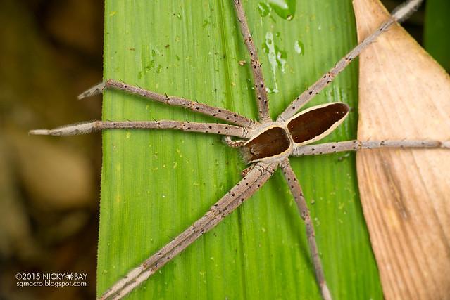 Fishing spider (Nilus sp.) - DSC_3813