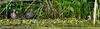 Gallinule poule-d'eau sur lit de Grenouillettes