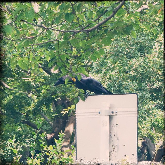 Crow sitting on a signboard