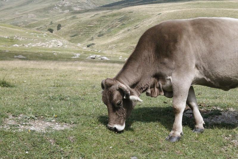 vaca en pirineos