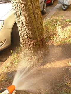 Rotdorn wird gewässert