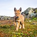 Ethiopian Wolf Pup by Burrard-Lucas Wildlife Photography