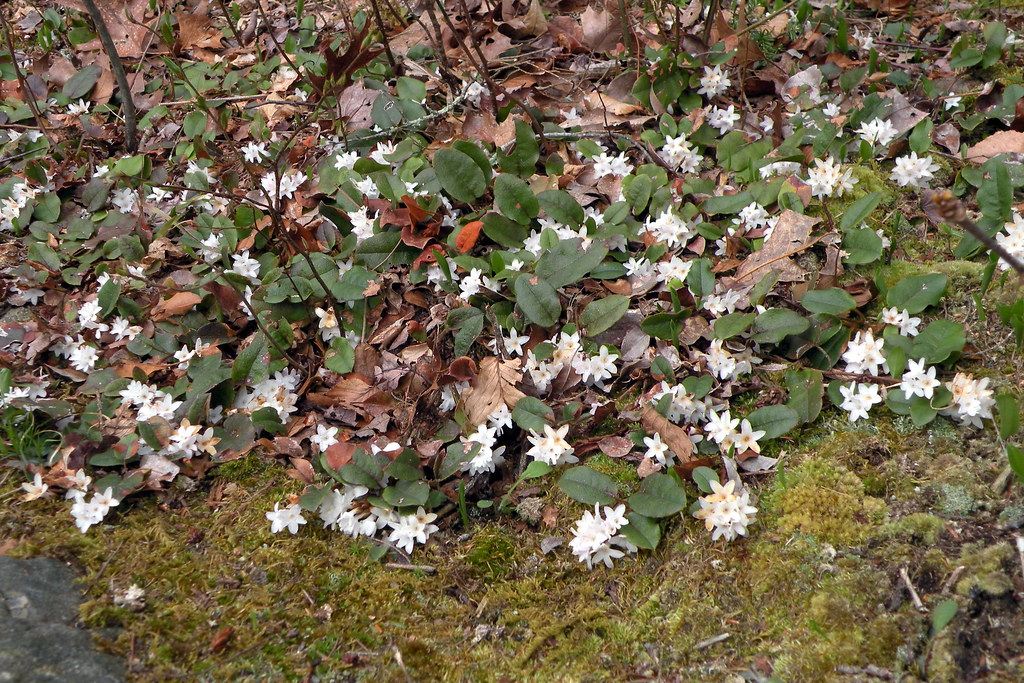 mayflowers pilgrims