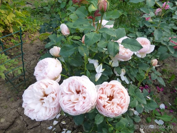 Hoa hồng ngoại Alexandrine hay belle romantica rose có kiểu hình lá tương đối giống với giống hoa hồng Catalina rose