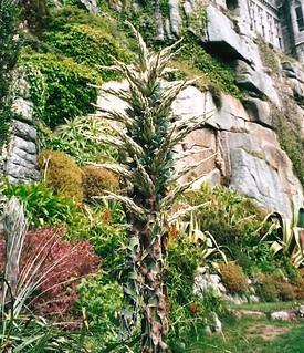 Puya raimondii (Titanka)