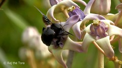 Carpenter (Copter) Bee Buzzing