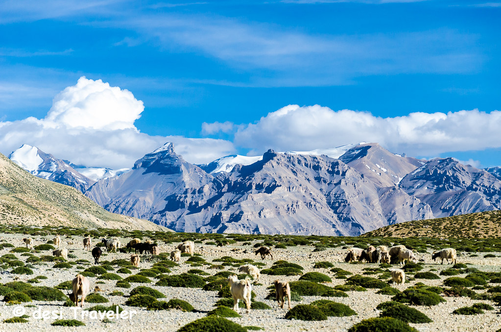 sheep and goat herd in Spiti