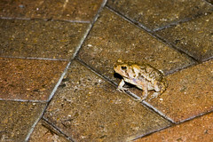 Frogs @ Founders Inn_0001_sig