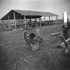 Wild turkey visits the Brebners