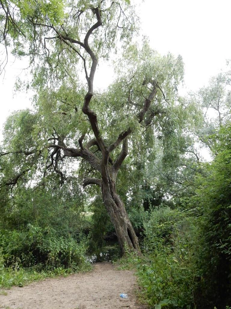 Big tree Huntingdon Circular (long)