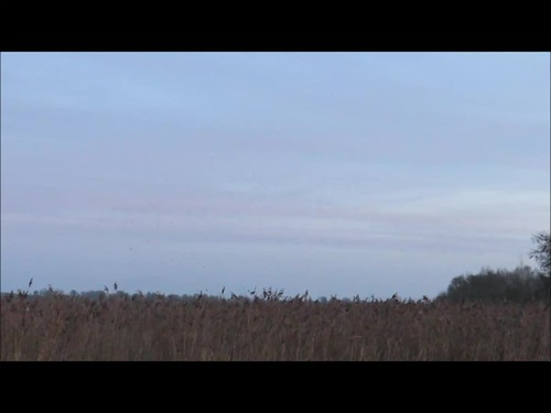 starling murmuration sturnus vulgaris sturnusvulgaris