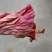 Red Hibiscus, withered by Monceau