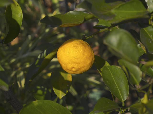 Photo:Citron | 柚子 (Yuzu) By over_frost