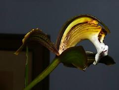 Cymbidium erythraeum species orchid, my 1st bloom  12-16*