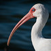 White Ibis with Beautiful Blue Eyes by ronniegoyette