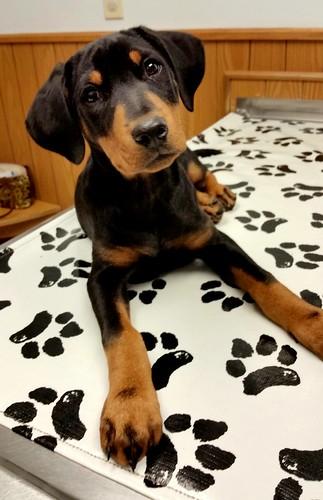 Puppy Vet Visit Flashback #ILoveMyVet #DobermanPuppy #RescueDog #AdoptDontShop #VetVisit #LapdogCreations ©LapdogCreations