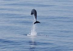 Spinner dolphin jumping