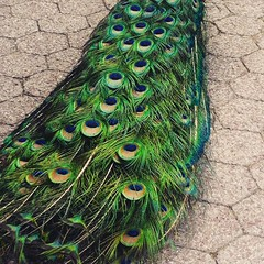 Peacock's feather train. #peacock #feathers #train #beautiful #picoftheday
