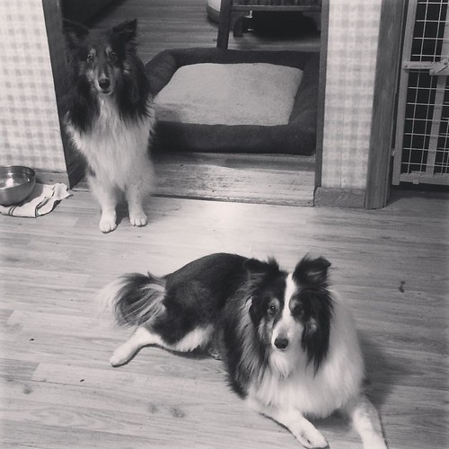 Jasper likes not being the only boy. Jake, my mother's dog, is staying with us for a few weeks. #sheltie