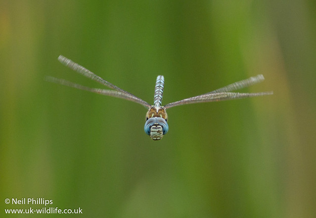 Southern migrant or blue eyed hawker Aeshna affinis-5