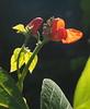 Beanflower