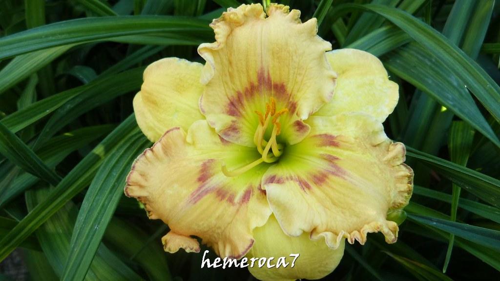 Hybrides 2015 chez hemeroca7 20201189085_674958cac3_b