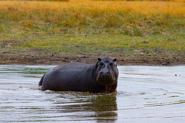 Hippo in a pond