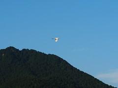 Great egret flying east near Mikamiyama