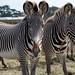 Grévy's zebras (Equus grevyi) - Nikon D750 - AFS Nikkor 28-300mm 1:3.5-5.6G VR by divewizard