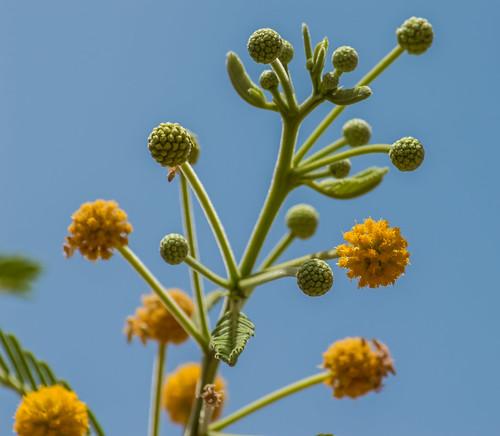 Pineland Acacia