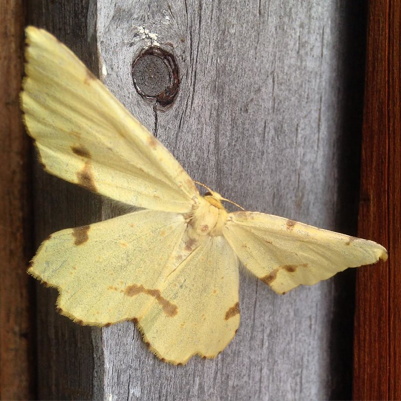 A Crocus Geometer moth. Our first guest in the future farm store.