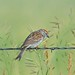 Small photo of Sparrow on Barb Wire