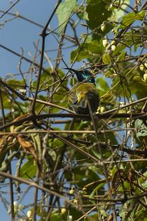 Blue-headed Sunbird - Uganda_H8O3276