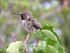 Hummingbird in the apricot tree