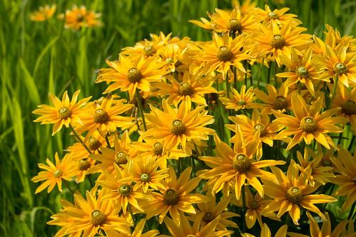 sun flower japan 日本 prairie 花 rudbeckia yamagata 山形 iide ルドベキア 飯豊 プレーリーサン dondendaira どんでん平