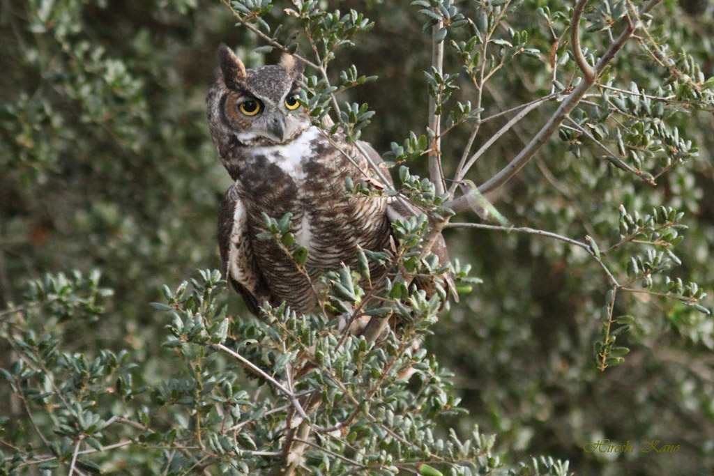 Great Horned Owl and Hummingbird 0409131